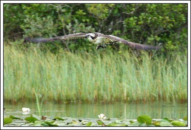 Juvenile osprey with fish © Neil MacDonald
