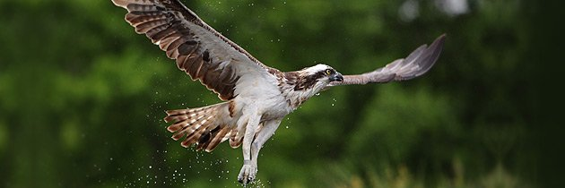 Osprey in flight (c) Mike Rae