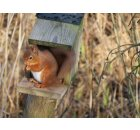 Red squirrel at Balgavies, George Ireland