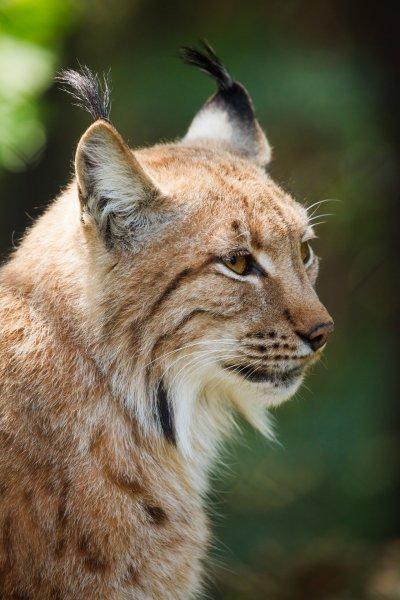 Lynx © Petr Kratochvil