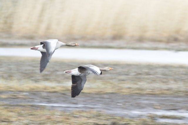 Greylag geese in flight. Steve Gardner