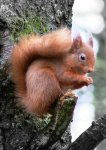 Red Squirrel at Loch of Lowes