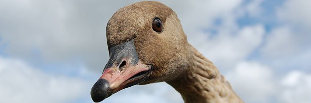 Pink-footed goose (c) Anna Cheshier