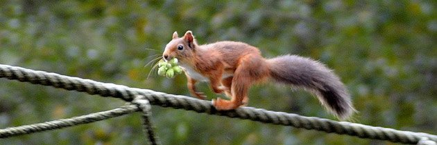 Red squirrel (c) Keris Burt