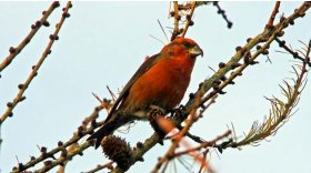 Crossbill (c) Chris Baines