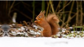 Red squirrel (c) Steve Gardner