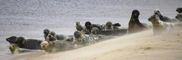 Common seals on beach © DC2