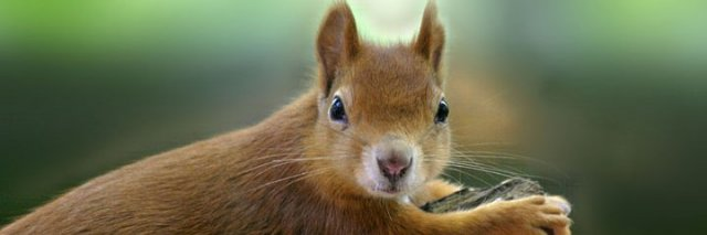 Only 120,000 red squirrels remain in Scotland © Darin Smith