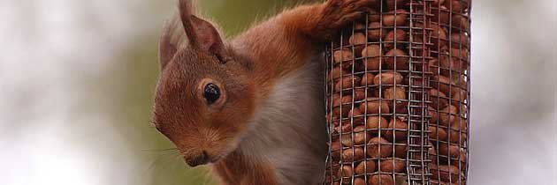 Red squirrel in garden © Alan Laing