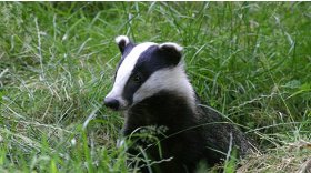 Badger © Darin Smith