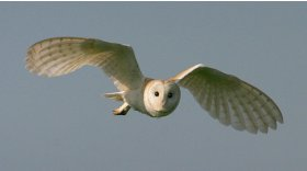 Barn owls © Darin Smith