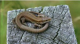 Common lizard © T Norman Tait