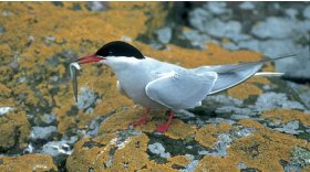 Common tern © Darin Smith