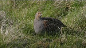 Grey partridge © Darin Smith