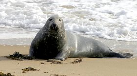 Grey seal (c) Charlie Phillips