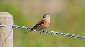 Linnet © Amy Lewis