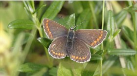 Northern brown argus © Darin Smith
