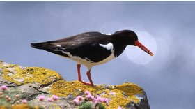 Oystercatcher © A D Johnson