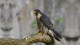 Peregrine falcon © Neil Aldridge