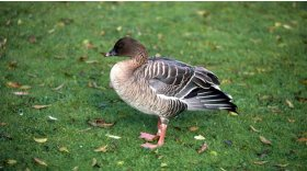 Pink footed goose © Emilio Dicerbo