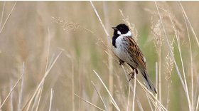 Reed bunting © Mike Scott