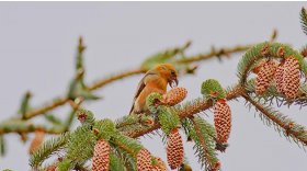 Scottish crossbill (c) Steve Gardner
