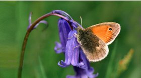 Small heath © T Norman Tait
