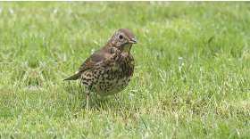 Song thrush © Darin Smith