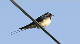 Swallow © Darin Smith