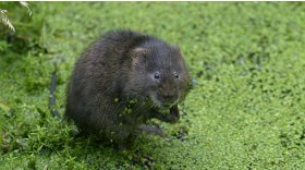 Water vole © Darin Smith