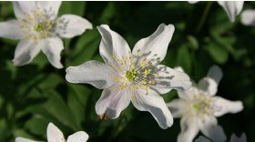 Wood anemone © Mark Carter