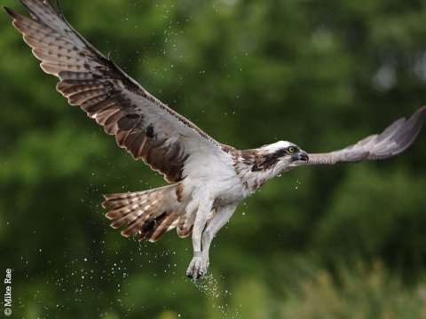 Osprey adoption
