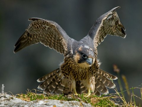 Peregrine adoption