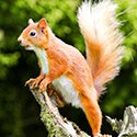 Saving Scotland's Red Squirrels (c) Steve Gardner