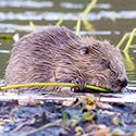 Scottish Beaver Trial (c) Steve Gardner