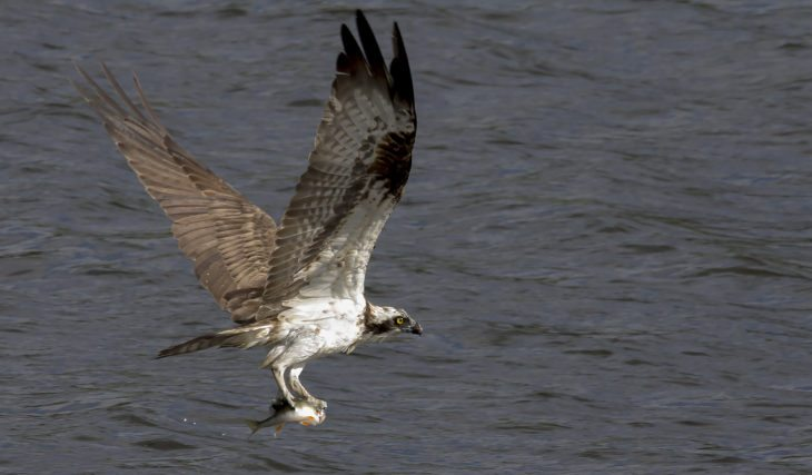 Osprey at Lowes