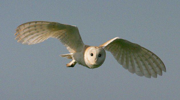 Barn Owl Scottish Wildlife Trust