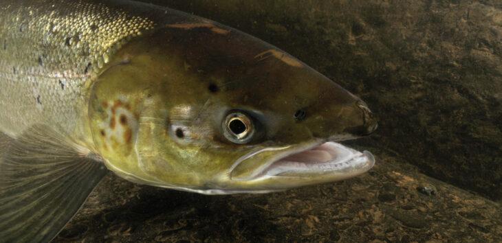 Atlantic Salmon © Linda Pitkin/2020VISION
