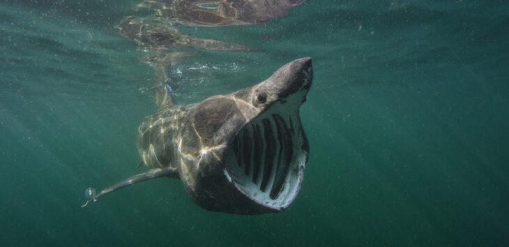 Basking shark © Alexander Mustard/2020VISION