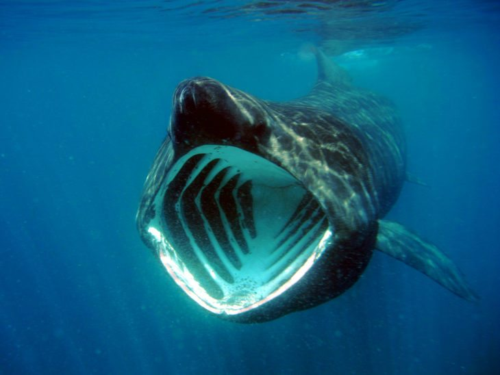 A basking shark feeding.