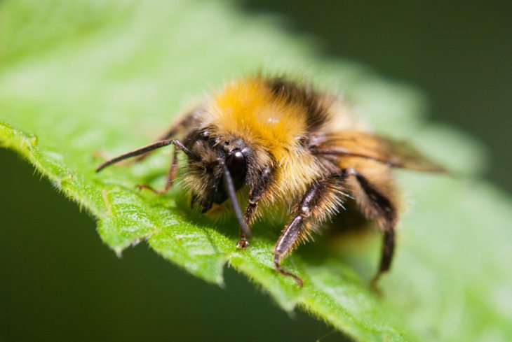 A bumblebee on a leaf.