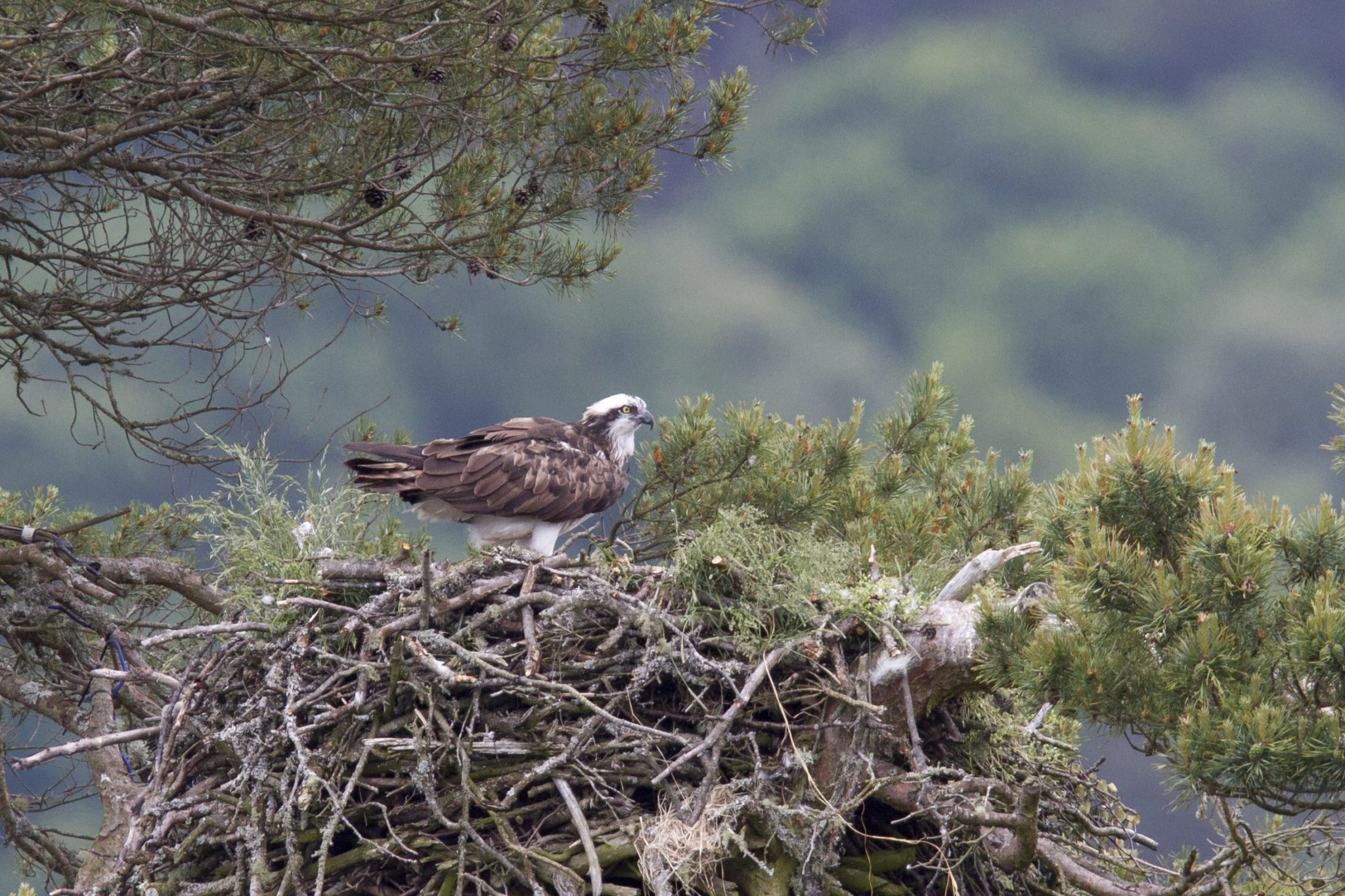 Female osprey on nest at Loch of the Lowes © Steve Gardner