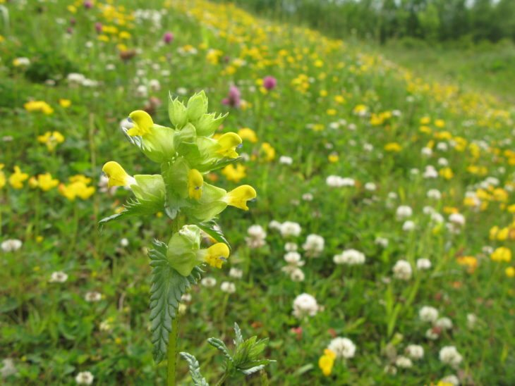 Wildflower meadow with yellow rattle