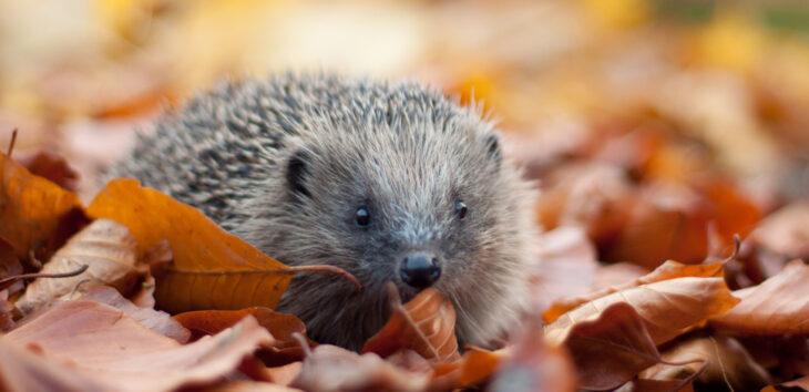 Hedgehog in autumn leaves © Tom Marshall