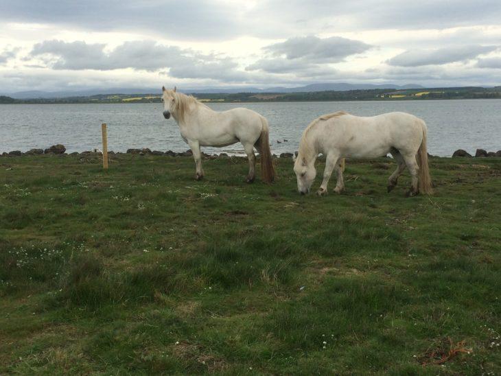 highland ponies at montrose basin scottish wildlife trust