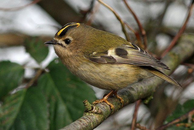 Male goldcrest (c) nutmeg66
