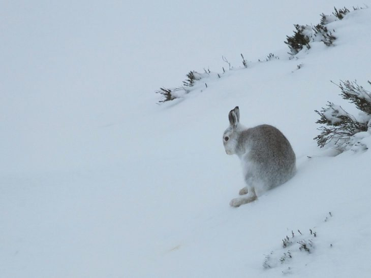 Mountain Hare © Stuart Anthony