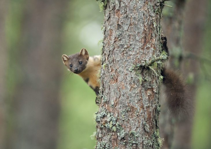 Pine marten, Black Isle, Scotland.