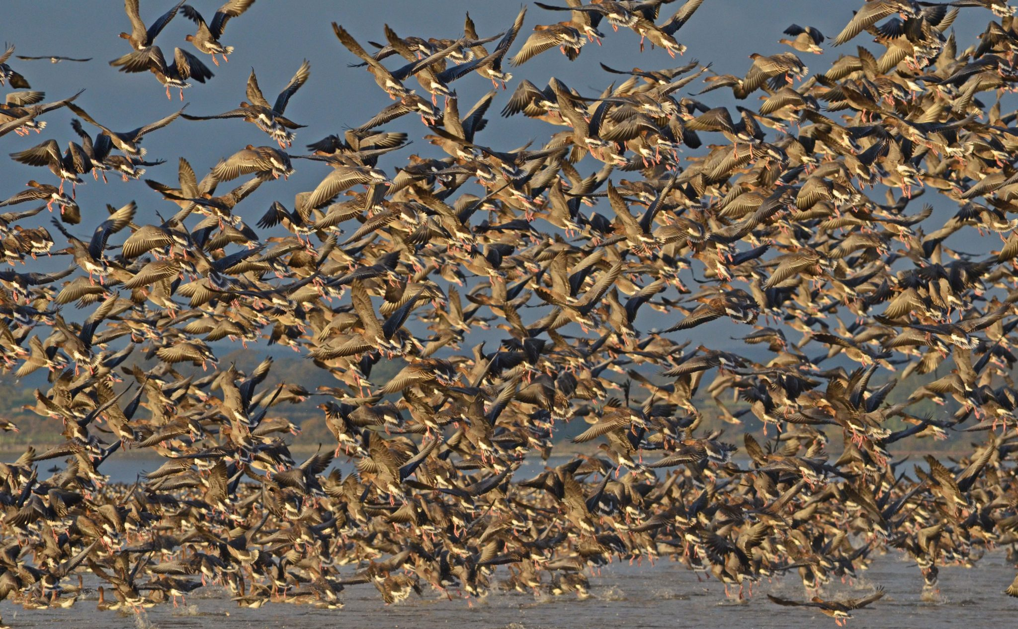 Pink-footed geese, Montrose Basin © Harry Bickerstaff
