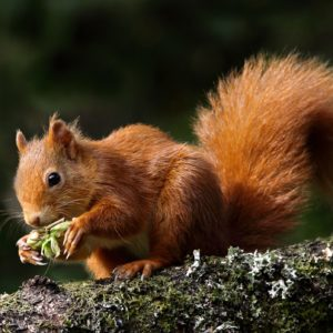 Red Squirrel © Ronnie Stokes